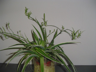 chlorophytum comosum 39 ocean 39 pt10 bloemewinkel. Black Bedroom Furniture Sets. Home Design Ideas
